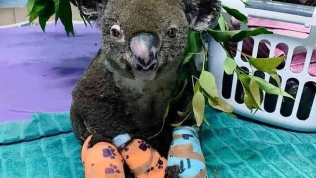 FOTO Muere 'Lewis', el koala que fue rescatado de entre las llamas de incendio en Australia (Daily Mail noviembre 2019 australia)