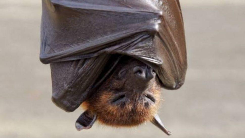 FOTO Murciélagos podrían tener respuestas a combate a envejecimiento y cáncer. (Getty Images)