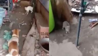 Foto perro y gato se unen para vencer a una rata enorme 8 noviembre
