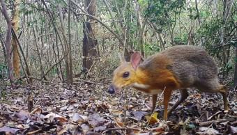 Ciervo ratón lomo plateado de Vietnam, 13 de noviembre de 2019 (Andrew Tilker)