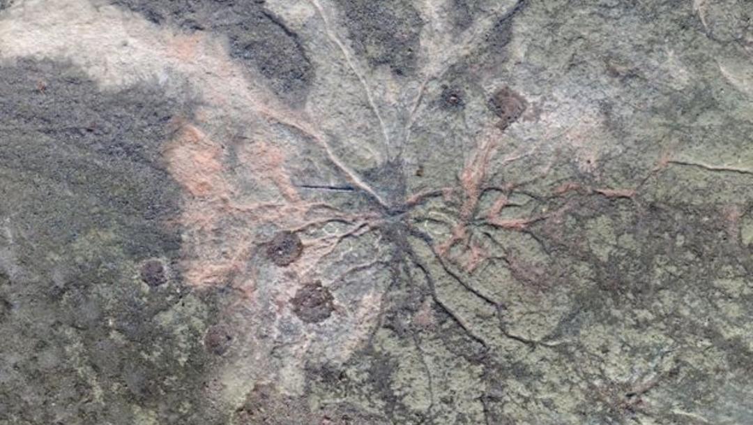 Descubren bosque fósil más antiguo del mundo de más de 380 millones de años, 19 de diciembre de 2019, (WILLIAM STEIN / CHRISTOPHER BERRY)