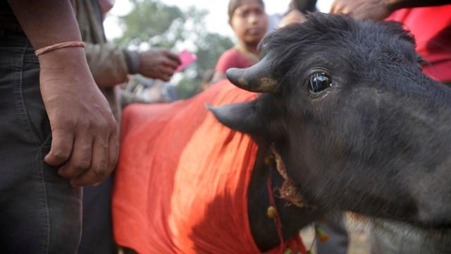 Ghadimai-sacrificio-animales-bufalos-muertos-maltrato-animal
