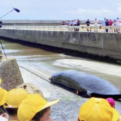 Imagen: La medida garantiza que el gobierno japonés apoyará a la industria ballenera de su país para que se provea de personal y embarcaciones, además de promocionar el consumo de carne de ballena