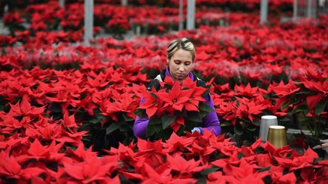 ¿Cómo debes cuidar tu Flor de Nochebuena para que dure muchos años?
