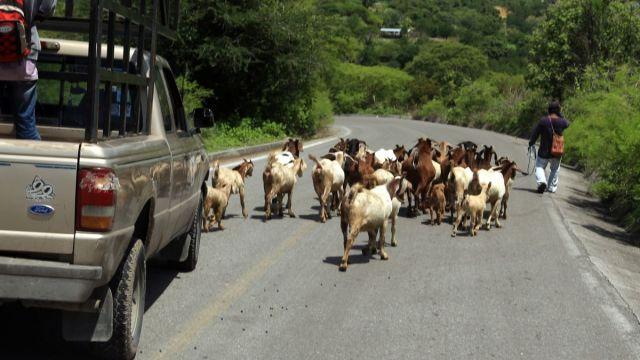Foto: Un hombre jala a varios chivos en una carretera de México. Cuartoscuro/Archivo
