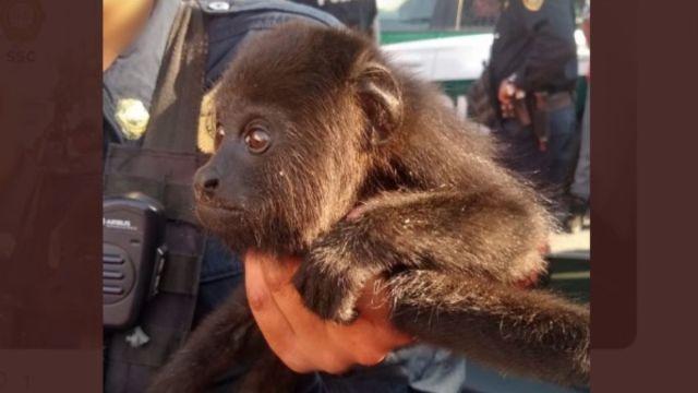 Foto: Policías recuperaron un mono araña.