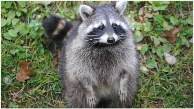 Imagen: Un mapache fue rescatado en aparente estado de ebriedad, 8 de diciembre de 2019 (Pixabay)
