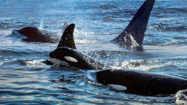 Abuelas orcas viven más para ayudar a los nietos