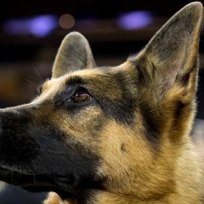Descuartizó al perro de su ex pareja en venganza por ruptura amorosa