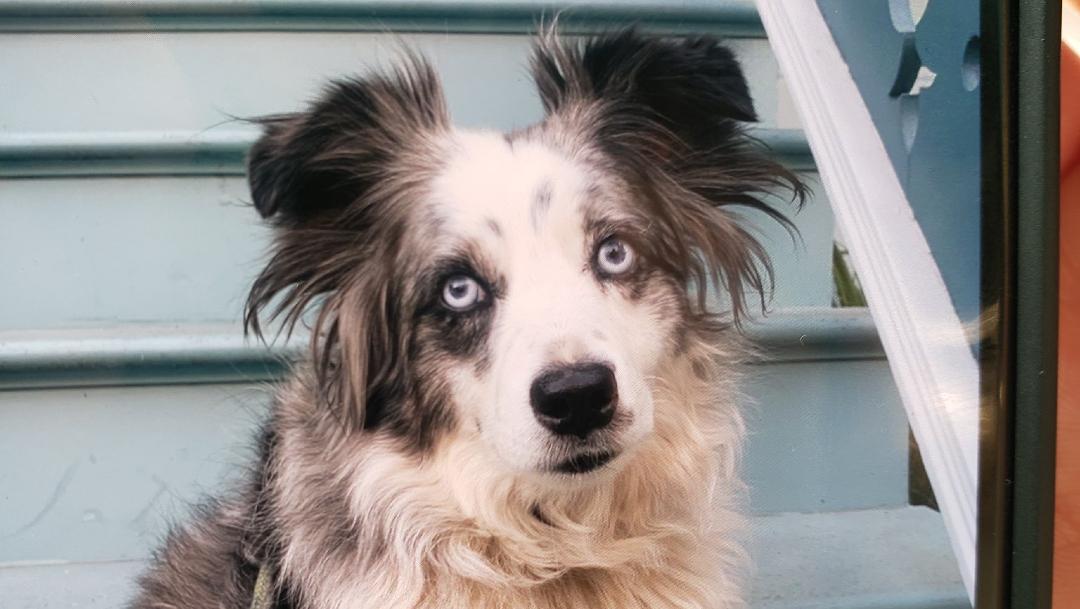 perro perdido california recompensa (1)