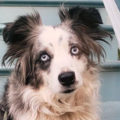 Mujer ofrece siete mil dólares de recompensa para encontrar a su perrito robado