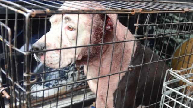 Fotografía que muestra a un perro pitbull capturado tras atacar a un menor de edad,1 JULIO 2019