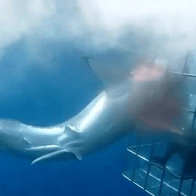 Foto: Muere tiburón blanco atrapado en jaula de observación, 12 de diciembre de 2019, (Plumas Atómicas)