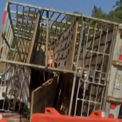 Foto: Video: Vuelca camión con cerdos y pobladores se los roban