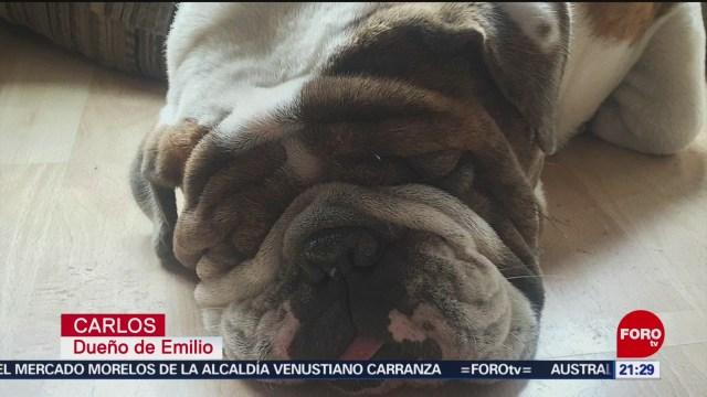 Foto: Búsqueda Bulldog Ingles Emilio 16 Enero 2020