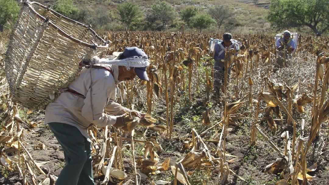 cosecha maiz