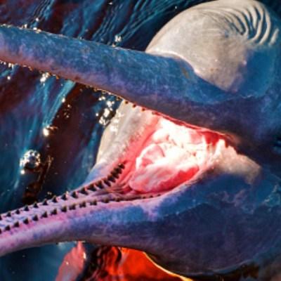 Hombre intenta llevarse dientes de delfín rosado