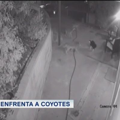 Extra, Extra: Gato se enfrenta a coyotes