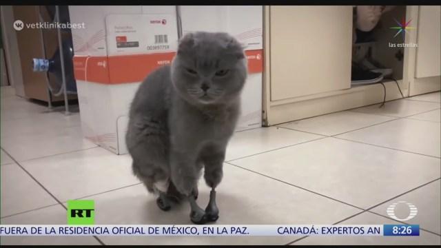 gatita vuelve a caminar con protesis