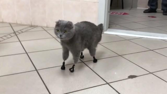 Cuatro-patas-implante-protesis-Gato-sin-patas-impresora-3D