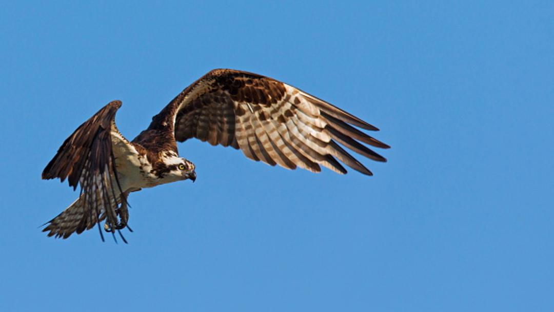 Foto: Águila muere de hambre tras volar 7 mil kilómetros, 27 enero 2020, (Getty Images, archivo)