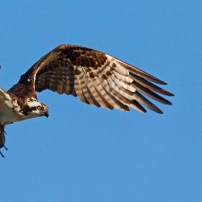 Águila muere de hambre tras volar 7 mil kilómetros