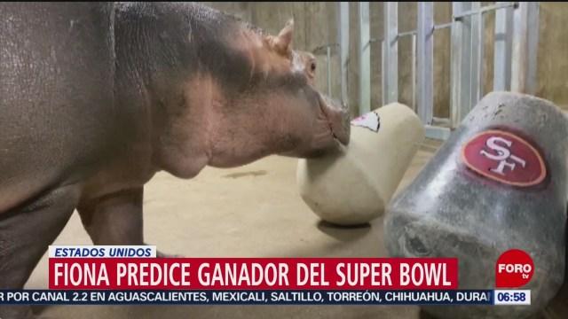 hipopotama predice ganador del super bowl vomitando