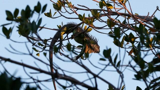 """FOTO: Ola de frío en Florida provoca el cierre de parques y """"lluvia de iguanas"""", el 22 de enero de 2020"""