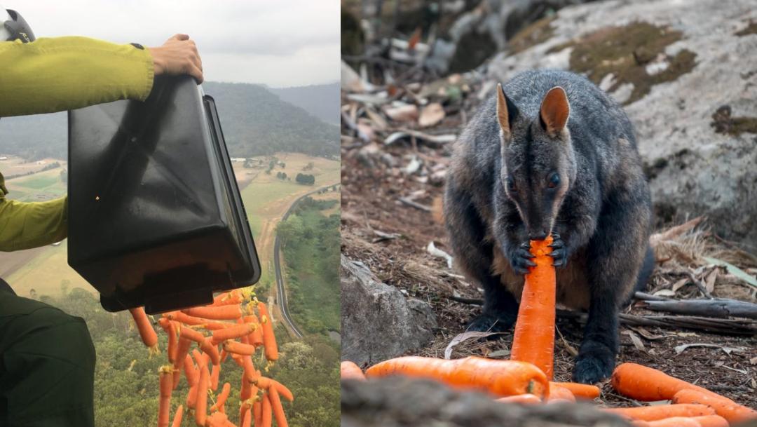 'Caen' zanahorias del cielo para los animales de Australia