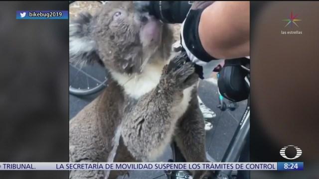 koala se acerca a ciclistas para buscar agua
