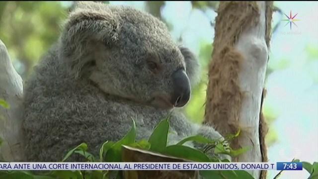 koalas una de las especies mas afectadas por incendios en australia