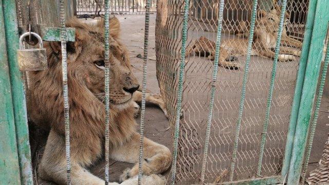 Leones-desnutridos-maltrato-animal-parque-zoologico-Sudan