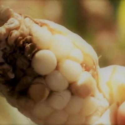 Para los animales; así salió la cosecha de maíz con gorgojo: Agricultores de Guerrero