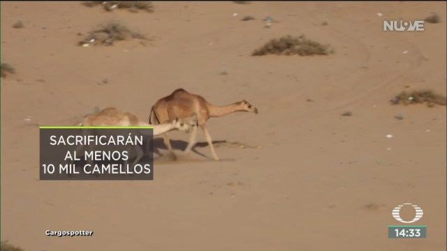 FOTO: sacrificaran a camellos salvajes en australia