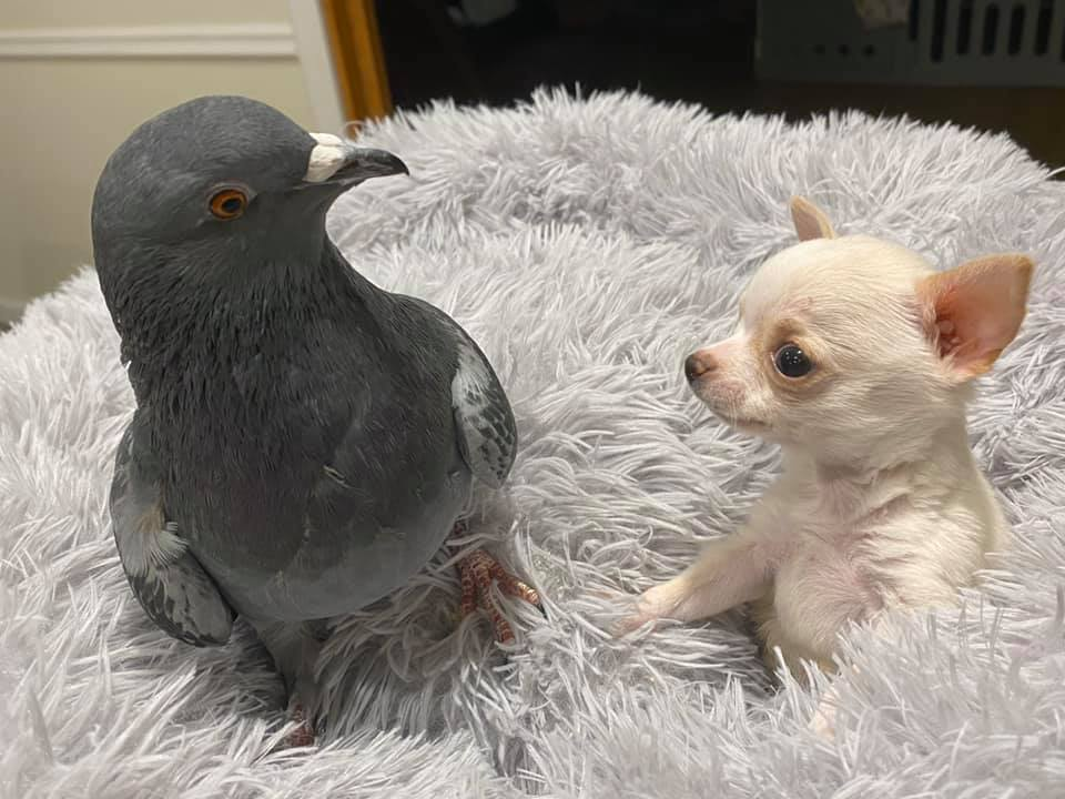 Compañeros en la adversidad, un chihuahua y una paloma son ¡Inseparables! #VIDEO