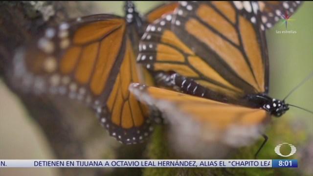 cada ano la mariposa monarca realiza una travesia hasta mexico