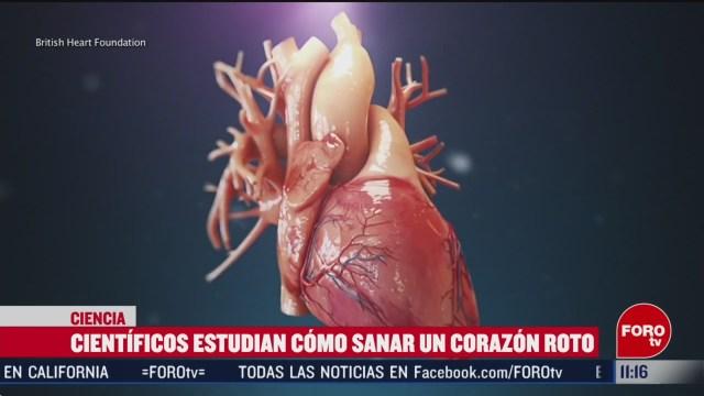 FOTO: 15 Febrero 2020, cientificos estudian como sanar un corazon roto