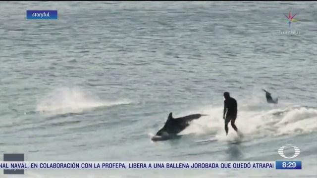delfines se unen a surfistas en australia