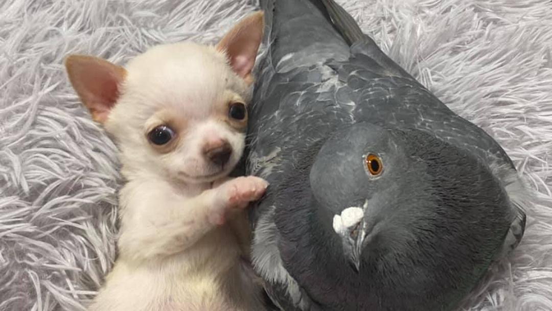 VIRAL: La tierna amistad entre un chihuahua y una paloma