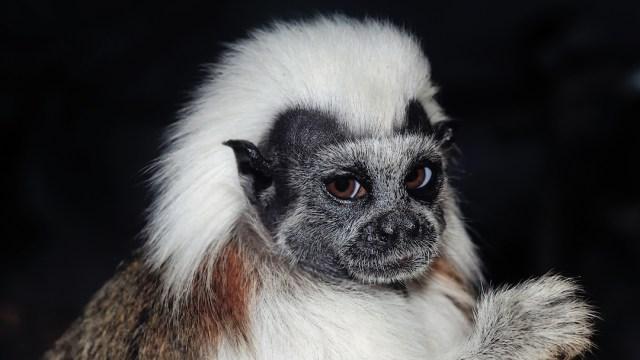 Foto Nace mono titi cabeciblanco en zoológico de Guadalajara 20 febrero 2020