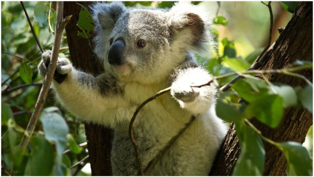 Imagen: Mueren varios koalas en Australia tras derribo de árboles, 2 de febrero de 2020 (pixabay)