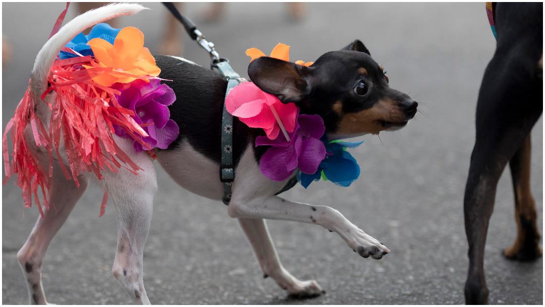 Foto: Los perros se disfrazaron para el carnaval, 16 de febrero de 2020 (AP)