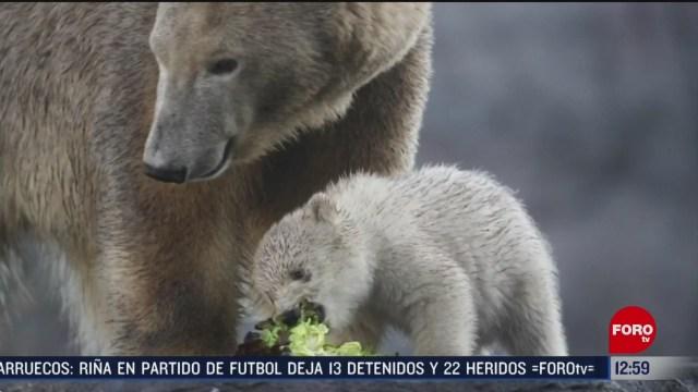 presentan a cria de oso polar en el zoologico de viena