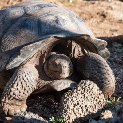 Encuentran 30 tortugas con genes similares a los de especies extintas
