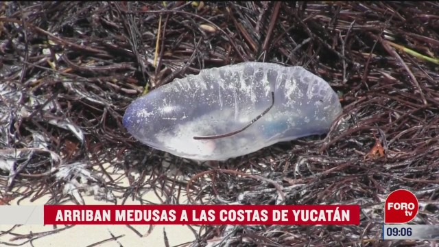 alerta en yucatan por llegada de medusas carabela portuguesa