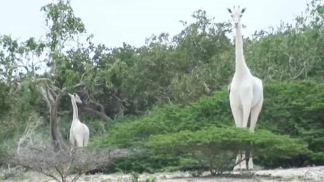 Foto: Cazadores furtivos matan a la única jirafa blanca de Kenia y a su cría