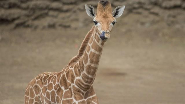Nace jirafa bebé en Zoológico de Chapultepec