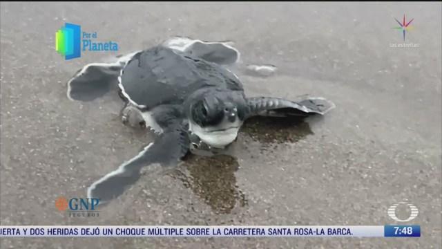 por el planeta vigilancia de nidos de la tortuga marina