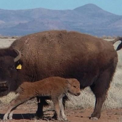 Bisonte americano regresa a Coahuila cien años después