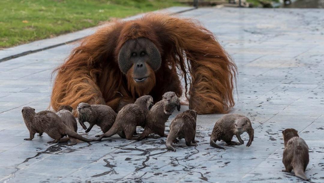 Orangutanes y nutrias se hacen amigos en zoo de Bélgica